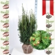 Taxus Media Hicksii - Fruchtende Becher Eibe 100-125 am Juteballen