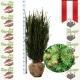Taxus Media Hicksii - Fruchtende Becher Eibe 125-150 am Juteballen