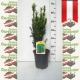 Taxus media Hillii - Kegel Eibe 50-60 topfgewachsen