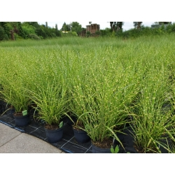 Miscanthus sin. 'Strictus' - China-Schilf