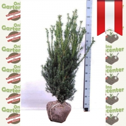 Taxus media Hillii - Kegel Eibe 80-100 am Juteballen