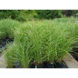 Miscanthus sin. 'Flamingo' - China-Schilf