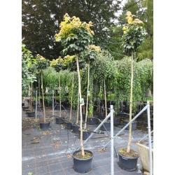 Acer platanoides 'Globosum'- Kugel-Ahorn (Stamm 180cm)