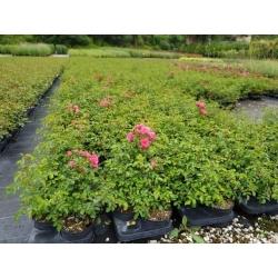 Bodendeckerrose pink 'Hedi' 30+cm, Bodendeckerrose günstig