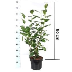 Kirschlorbeer Caucasica 60-80 im 3l Topf, MP-34825-005