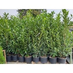Kirschlorbeer Caucasica 175-200 topfgewachsen