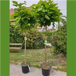 Kugel-Trompetenbaum 'Nana' - Stamm 150cm