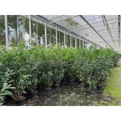 Kirschlorbeer Caucasica 150-180 im Topf