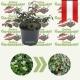 Cotoneaster dammeri - Zwergmispel kaufen
