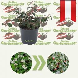 Zwergmispel - Cotoneaster dammeri 10-15 TB9, kriechender
