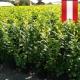 Kirschlorbeer Novita 100-125 im Topf, Korschlorbeer Sorten