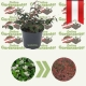Cotoneaster dammeri 'Coral Beauty '- kaufen