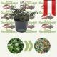 Cotoneaster dammeri 'Eichholz'- Niedrige Kriech-Zwergmispel