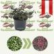 Cotoneaster micr.  'Streibs Findling'- Zwergmispel kaufen