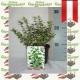 Euonymus fortunei  'Emerald Gaiety' -Weißbunte Kriechspindel kaufen