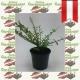 Böschungsmyrthe - Lonicera pileata Tb9 | 15 Stück, Pflanzen mit
