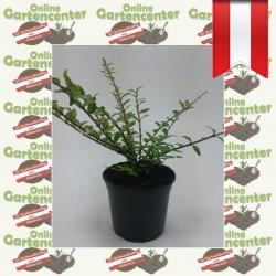 Lonicera pileata - Böschungsmyrte kaufen