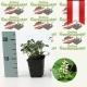Pachysandra terminalis 'Green Sheen' - Dickanthere, Ysander kaufen