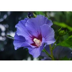 Garten-Eibisch blauvioletttt, einfach - 60-70cm