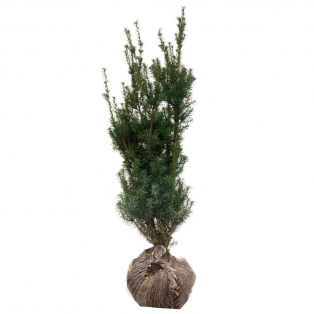 Eibe - Taxus media Hicksii 80-100 am Ballen