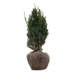 Eibe - Taxus media Hillii am Ballen  50-60