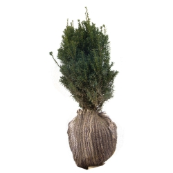 Eibe - Taxus media Hillii am Ballen 40-50, Taxus media Hillii