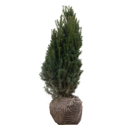 Eibe - Taxus media Hillii 60-80 cm am Ballen, Taxus media