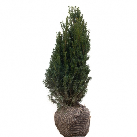 Eibe - Taxus media Hillii am Ballen 60-80