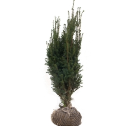 Eibe - Taxus media Hillii am Ballen 80-100