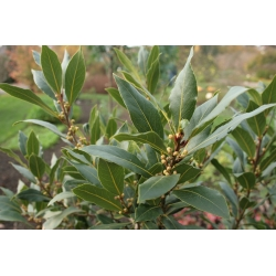 Echter Lorbeer 60-80cm C3, Lorbeerblätter, Gewürzpflanzen