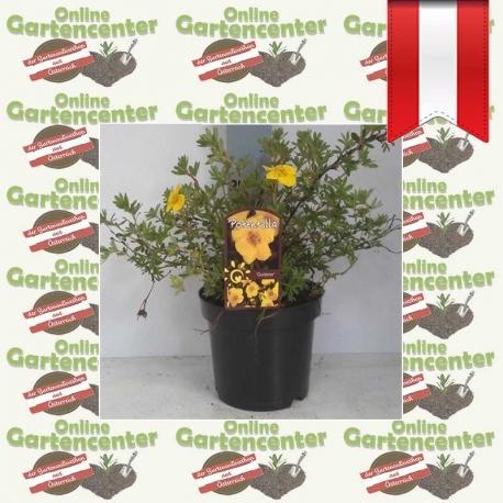 Potentilla fruticosa 'Goldteppich' - Fingerstrauch kaufen