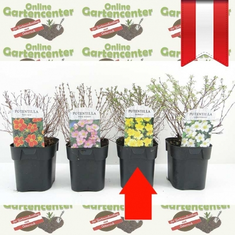 Potentilla fruticosa 'Kobold' - Fingerstrauch kaufen