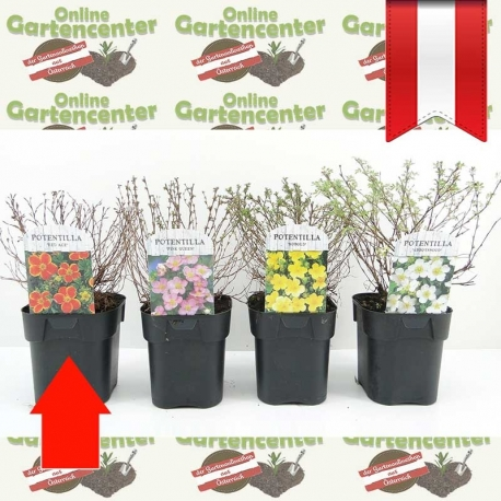 Potentilla fruticosa 'Red Ace' - Fingerstrauch kaufen