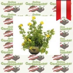 Potentilla fruticosa 'Sommerflor' - Fingerstrauch kaufen