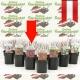 Spiraea bumalda 'Anthony Waterer' - Rote Sommer - Spiere kaufen