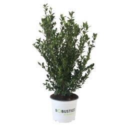 Ilex crenata Robustico® 40-50 - die Buxalternative