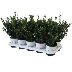 Ilex crenata Robustico® 10er Pack (20-30)