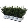 Ilex crenata Robustico® 10er Pack (15-20), 10er Pack, Robustico