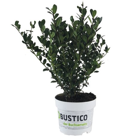 Ilex crenata Robustico® 20-30 - die Buxalternative