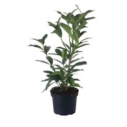 Kirschlorbeer Caucasica 50-60 topfgewachsen