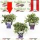 Vinca minor - Immergrün kaufen