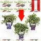 Vinca minor 'Alba' - Immergrün kaufen