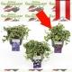 Vinca minor 'Purpurea'- Immergrün kaufen