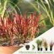 Imperata cylindrica 'Red Baron' - Japanisches Blutgras