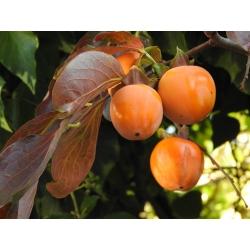 Schokoladenkaki Stammhöhe 100cm C10, Götterfrucht, Kaki Baum