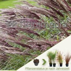 Miscanthus sinensis 'Red Chief' -Garten-China-Schilf