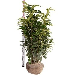 Kirschlorbeer Genolia 125-150 cm am Ballen