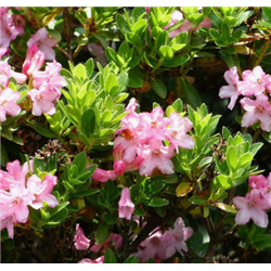 Rhododendron 'Bloombux' 20-25cm, Bloombux, Rhododendron