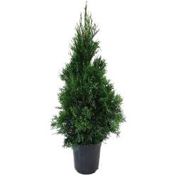 Smaragdthuje 60- 80 cm im Topf