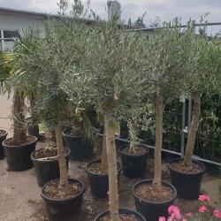 Olivenbaum ca. 20-25cm Stammumfang